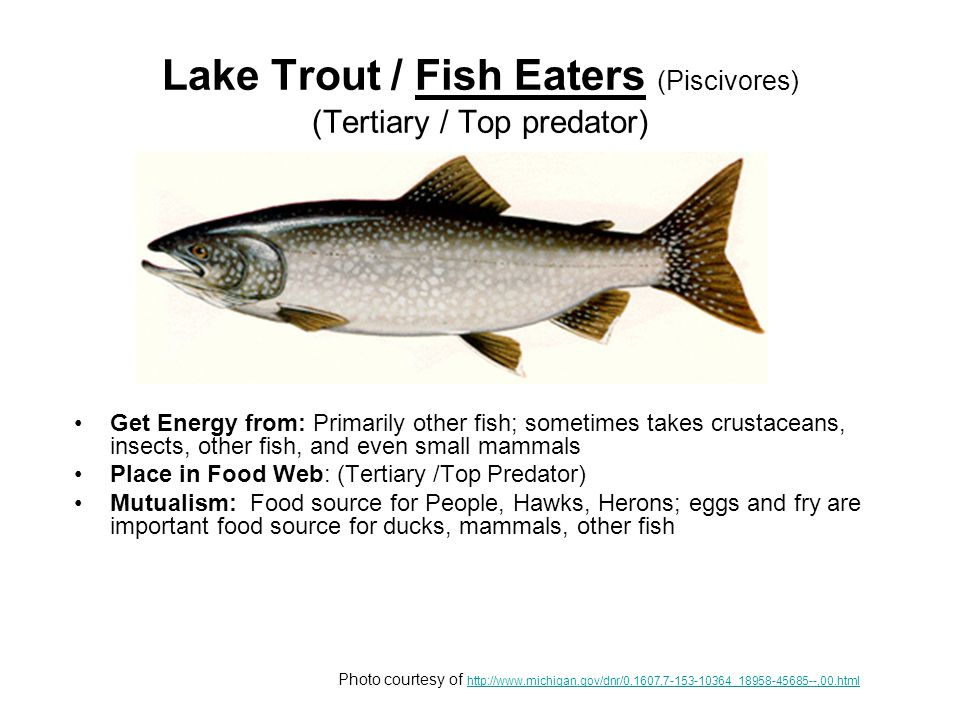 Northern Pike / Fish Eaters (Piscivores) (Tertiary / Top predator) Get Energy from: Primarily large numbers of smaller fish will supplement their diet with any living creature they can swallow, including frogs, crayfish, waterfowl, rodents, and other small mammals Place in Food Web: Tertiary / Top Predator Mutualism: Food source for mammals, hawks, herons etc; eggs and fry are important food source for ducks, mammals, other fish Photo courtesy of http://www.michigan.gov/dnr/0,1607,7-153-10364_18958-45685--,00.html