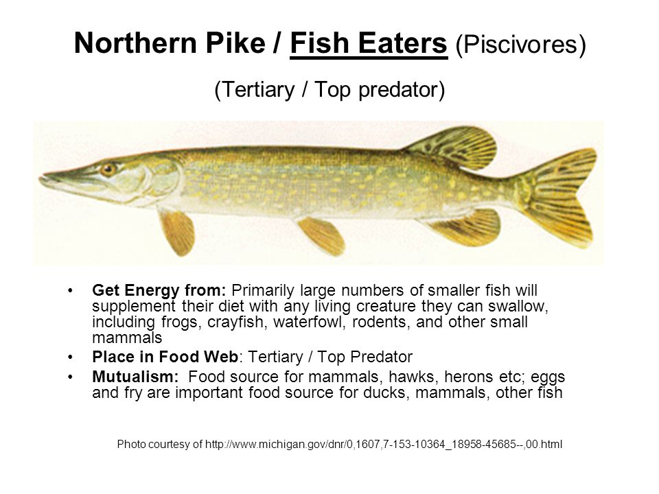 Steelhead Trout / Forage Fish (Secondary Consumer) Get Energy from: plankton, minnows, surface and bottom insects and other aquatic life; larger rainbows will eat other small fish if available.