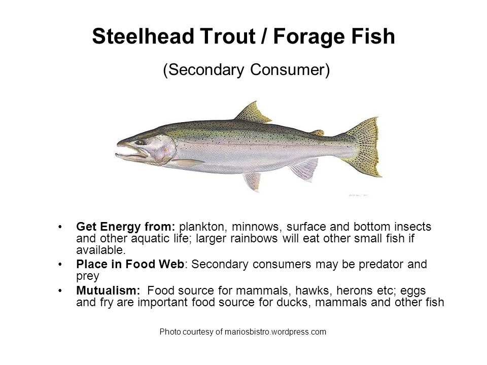 Chinook Salmon / Fish Eater & Forage Fish (Tertiary / Top Predator and Secondary Consumer) Get Energy from: Young Chinook in rivers eat insects, insect larvae and crustaceans; adults in the lakes eat fish almost exclusively.