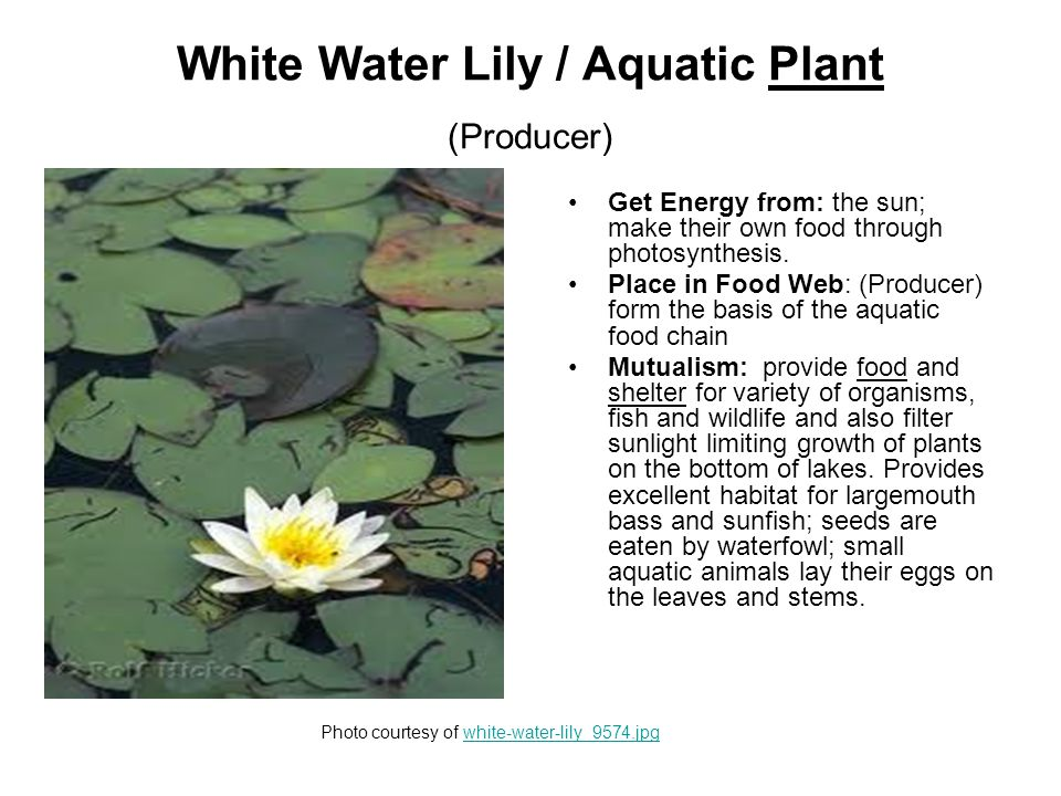 Milfoil / Aquatic Plant (Producer) Get Energy from: the sun; make their own food through photosynthesis.