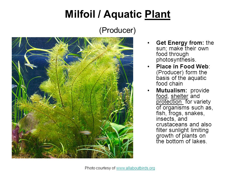 Common Duckweed / Aquatic Plant (Producer) Get Energy from: the sun; make their own food through photosynthesis.