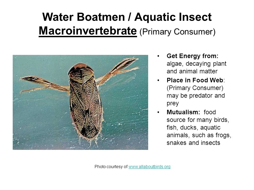 Freshwater Leech / Macroinvertebrate (Primary Consumer) Get Energy from: parasite that feeds on the blood of fish, frogs, turtles, and mammals.