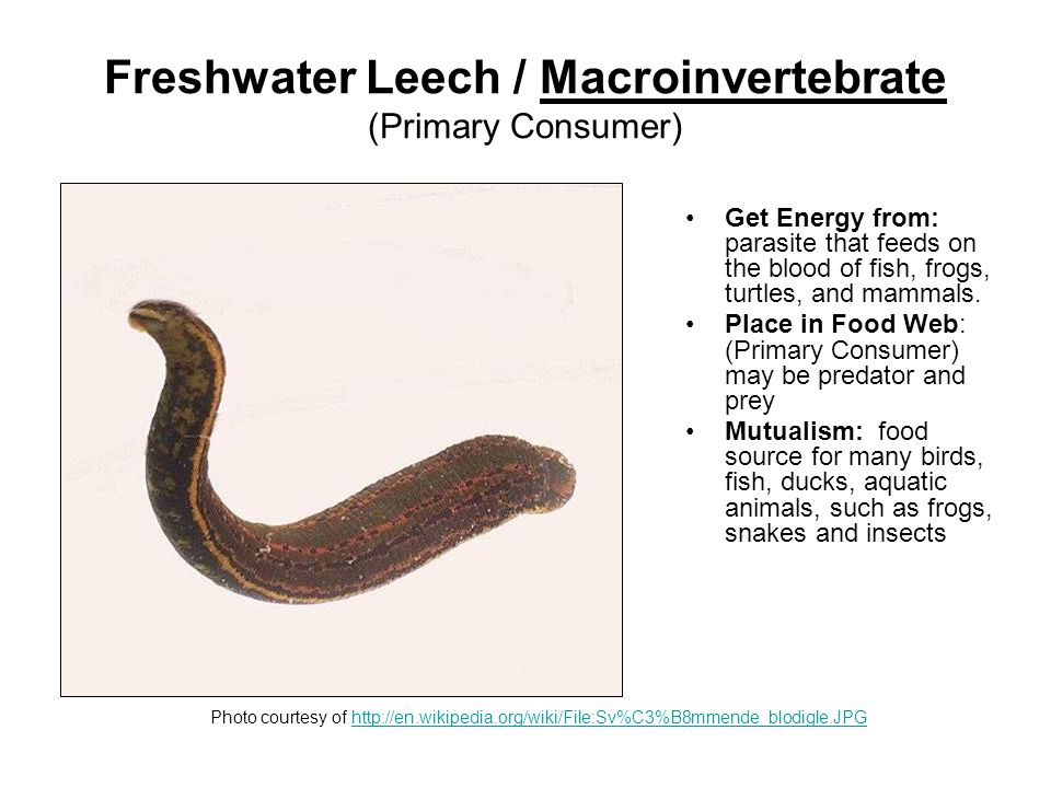 Scud (Side Swimmer) / Aquatic Insect Macroinvertebrate (Primary Consumer) Get Energy from: scuds are scavengers and feed on plant and animal debris.