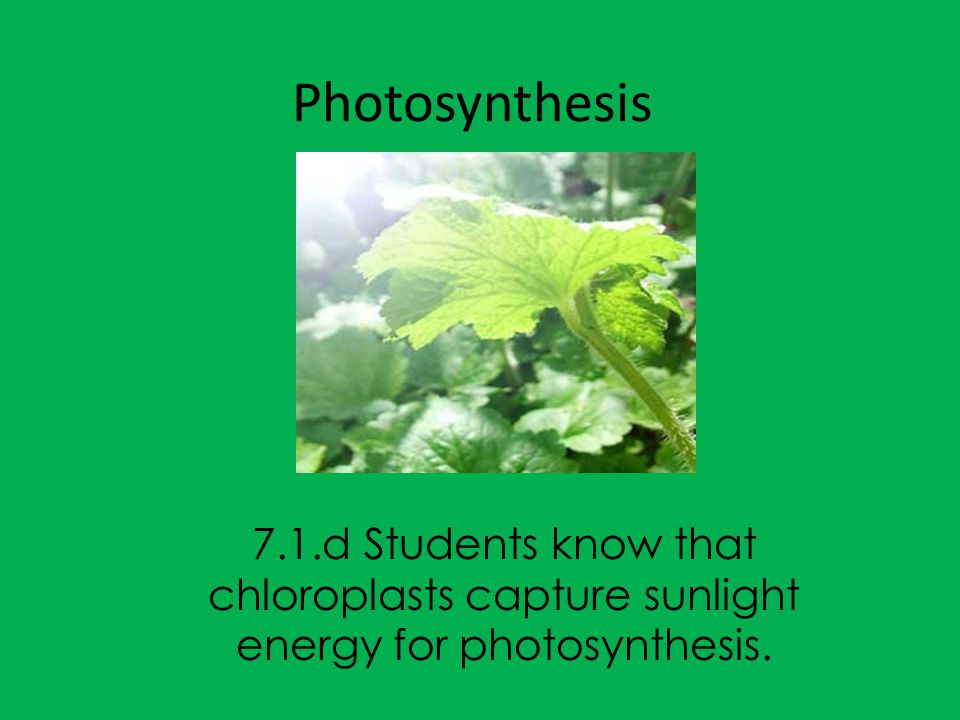 Learning objective: Today we will describe how the chloroplasts in plant cells capture sunlight energy in the process photosynthesis.