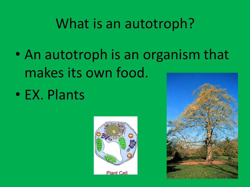 What is a heterotroph? A heterotroph is an organism that cannot make its own food. EX. Animal