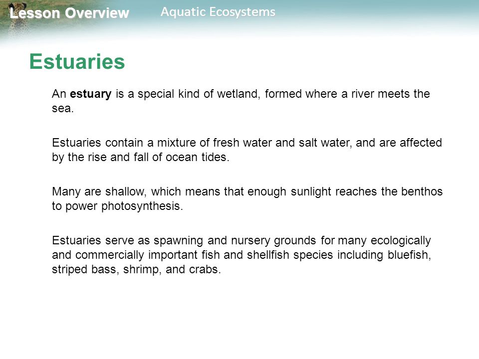 Lesson Overview Lesson Overview Aquatic Ecosystems Estuaries Salt marshes are temperate estuaries that have salt-tolerant grasses above the low-tide line and seagrasses below water.