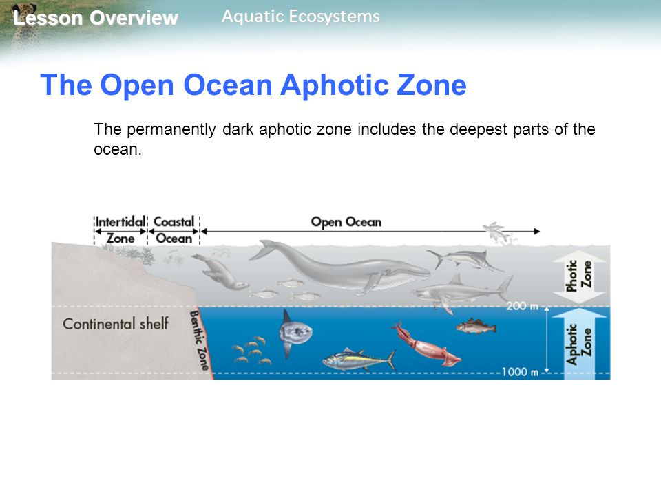 Lesson Overview Lesson Overview Aquatic Ecosystems The Open Ocean Aphotic Zone Food webs in the aphotic zone are based either on organisms that fall from the photic zone above, or on chemosynthetic organisms.