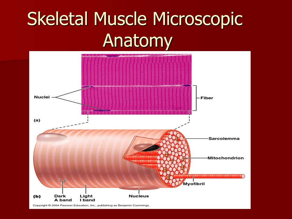 Myofibrils – hundreds to thousands per cell contain the contractile proteins = myofilaments Myofibrils – hundreds to thousands per cell contain the contractile proteins = myofilaments –Actin – thin filaments –Myosin – thick filaments