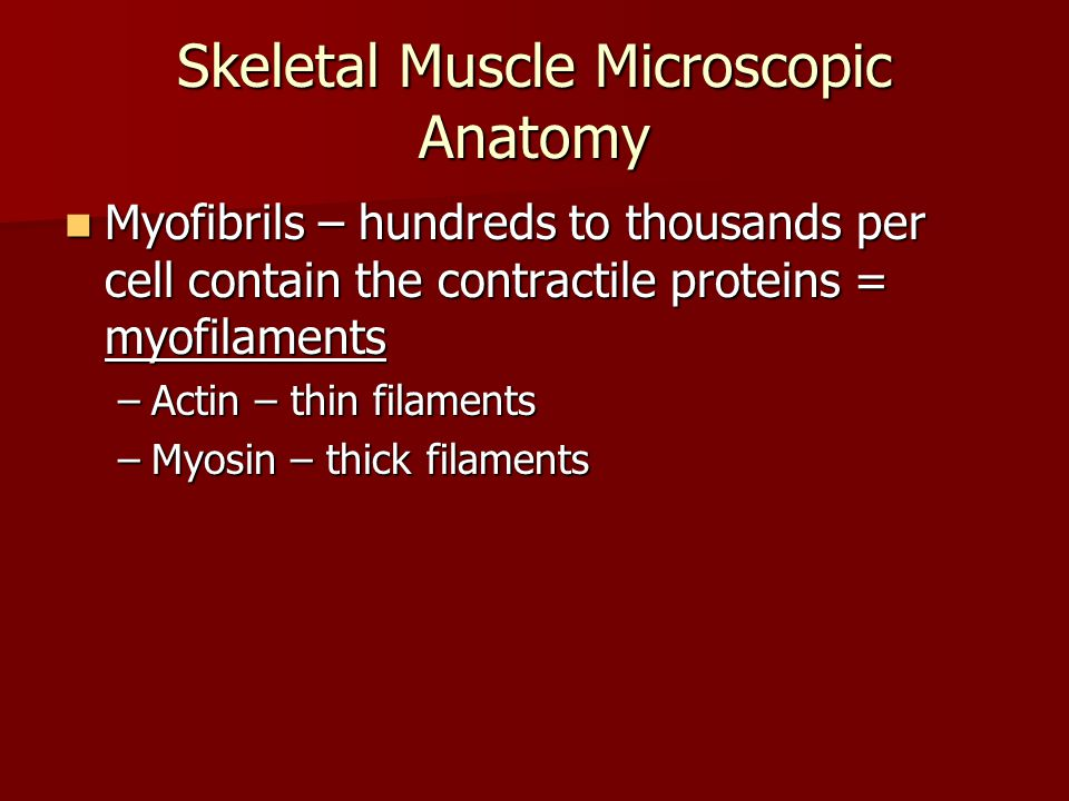 Skeletal Muscle Microscopic Anatomy Bands Bands –A bands = actin & myosin overlap –I bands = actin only –H zone in A band – myosin only –Z disc – attachment of actin and myosin; distance between Z discs = sarcomere