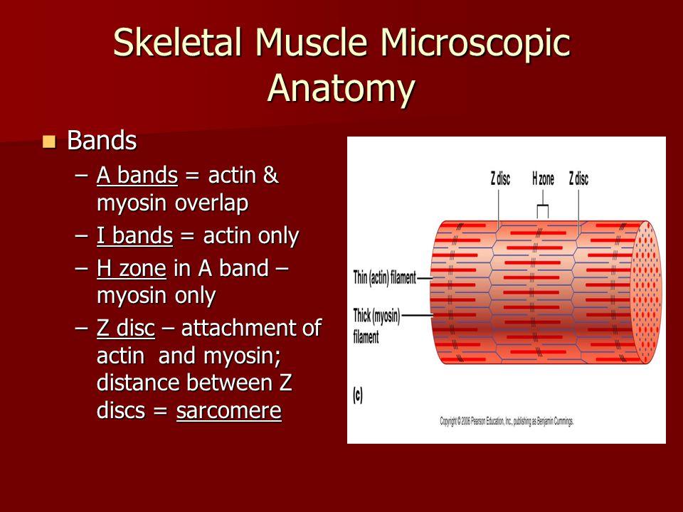 Skeletal Muscle Microscopic Anatomy Closer look at a sarcomere Closer look at a sarcomere