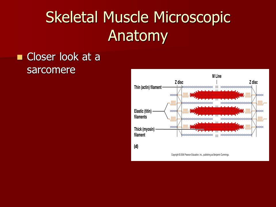 Skeletal Muscle Microscopic Anatomy Ultrastructure of Sarcomere, fig 9.4 Ultrastructure of Sarcomere, fig 9.4 –Myosin – 2 globular heads whose tails are intertwined.