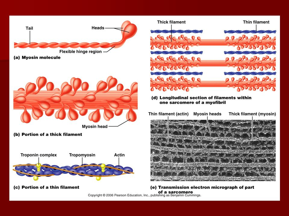 Skeletal Muscle Microscopic Anatomy Sarcoplasmic reticulum – smooth ER, regulates intracellular calcium; forms paired terminal cisternae at A-I junctions.