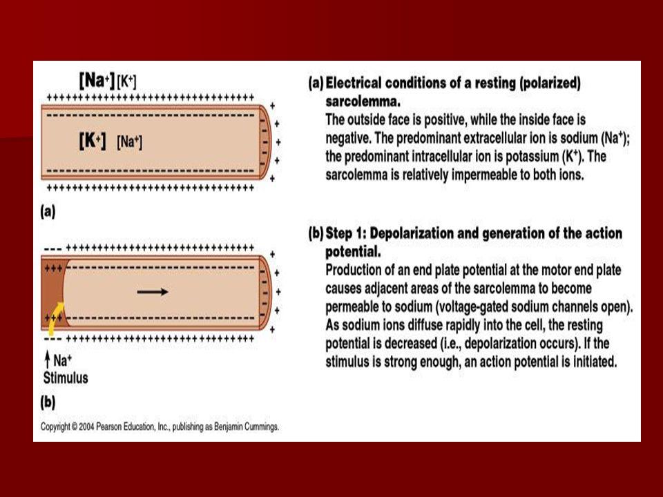Physiology of Skeletal Muscle Fiber Excitation cont'd Excitation cont'd –AP is propagated along entire sarcolemma.
