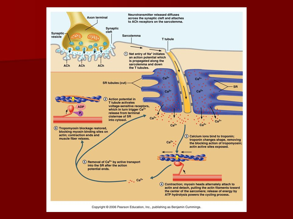 Contraction Relaxation Relaxation –Ca-ATPase (calcium pump) moves calcium back into the terminal cisternae, tropomyosin moves back to cover active sites on actin.