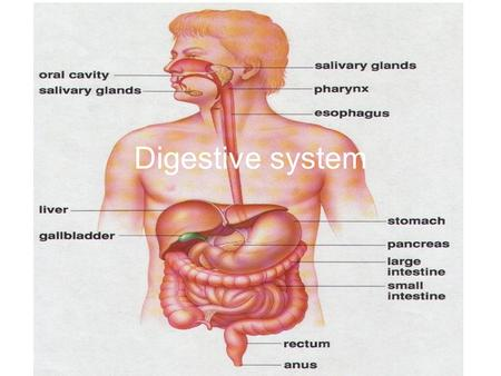 Digestive system. Why do we need a digestive system? The digestive system uses mechanical and chemical methods to break complex molecules down into simpler.