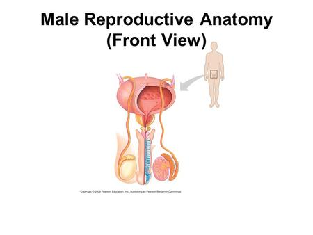 Male Reproductive Anatomy (Front View). Male Reproductive Anatomy (Side View)