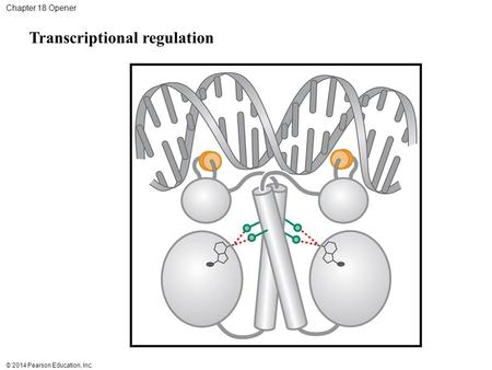 © 2014 Pearson Education, Inc. Chapter 18 Opener Transcriptional regulation.