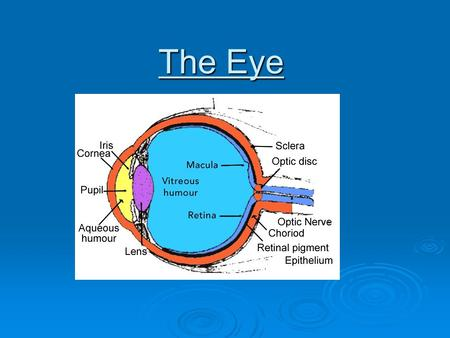 The Eye. The Pupil  A small adjustable opening.  Its size and the amount of light entering the eye is regulated by the iris.