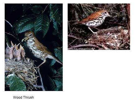Wood Thrush. Common Flicker Red-shafted, male Female Yellow-shafted, male.