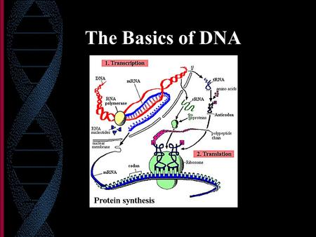 The Basics of DNA. DNA Deoxyribose sugar Phosphate bonds Nitrogen bases: (A, T, C, and G) A-T and G-C complementary pairing Double stranded (helix) Found.