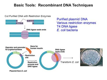 Basic Tools: Recombinant DNA Techniques Cut Purified DNA with Restriction Enzymes Transform E. coli Purified plasmid DNA Various restriction enzymes T4.