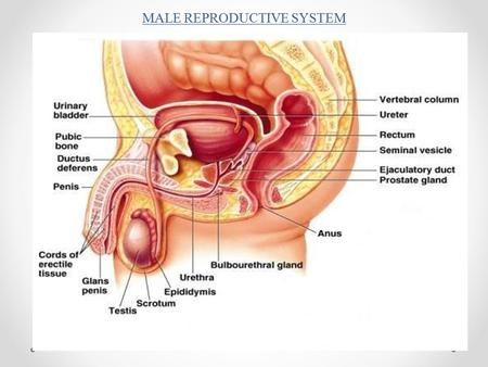 MALE REPRODUCTIVE SYSTEM. Penis – (Glans Penis) Sex organ Erectile Tissue – 3 cylindrical chambers – 2 cavernous & 1 spongy body – during stimulation.