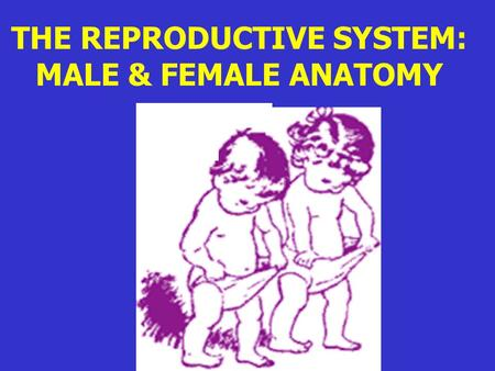 THE REPRODUCTIVE SYSTEM: MALE & FEMALE ANATOMY. REPRODUCTIVE SYSTEM: A system that produces haploid sex cells called gametes ( egg & sperm)