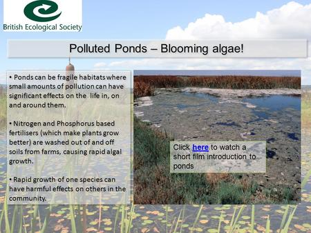 Polluted Ponds – Blooming algae! Ponds can be fragile habitats where small amounts of pollution can have significant effects on the life in, on and around.