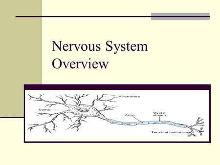Nervous System Overview. Nervous System 2 divisions central nervous system (CNS) – brain and spinal cord – control center for the whole body peripheral.