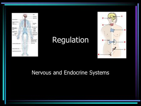 Regulation Nervous and Endocrine Systems. Parts of the nervous system… Brain Spinal Cord Nerves.