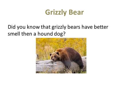 Grizzly Bear Did you know that grizzly bears have better smell then a hound dog?