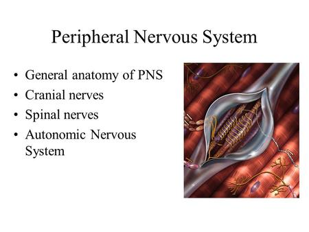 Peripheral Nervous System General anatomy of PNS Cranial nerves Spinal nerves Autonomic Nervous System.