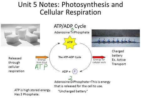 ATP/ADP Cycle Unit 5 Notes: Photosynthesis and Cellular Respiration Adenosine TriPhosphate Charged battery Ex. Active Transport Adenosine DiPhosphate –This.