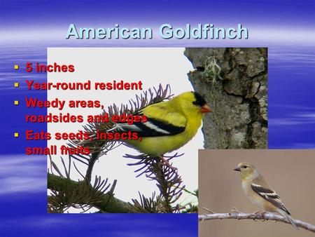 American Goldfinch  5 inches  Year-round resident  Weedy areas, roadsides and edges  Eats seeds, insects, small fruits.