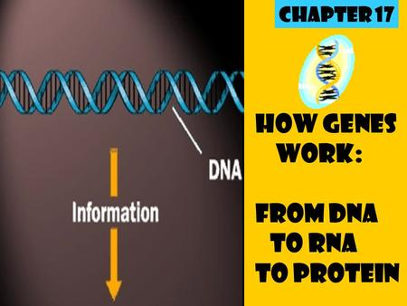 How Genes Work: From DNA to RNA to Protein Chapter 17.