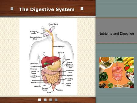 The Digestive System Nutrients and Digestion. Four Stages of Food Processing: ingestion digestion absorption elimination Digestion – process that breaks.