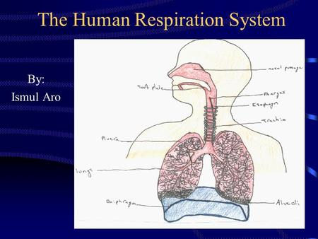 The Human Respiration System By: Ismul Aro. LEARNING OBJECTIVES 1.Students can explain the process of respiration system. 2.Students can explain mechanism.