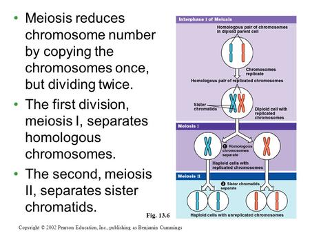 Meiosis reduces chromosome number by copying the chromosomes once, but dividing twice. The first division, meiosis I, separates homologous chromosomes.