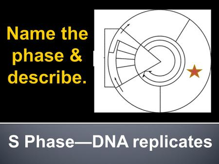 S Phase—DNA replicates. Interphase & Mitotic Phase.