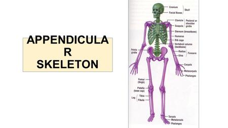 APPENDICULA R SKELETON. The Appendicular Skeleton Pectoral girdle Attaches the upper limbs to the trunk Pelvic girdle Attaches the lower limbs to the.