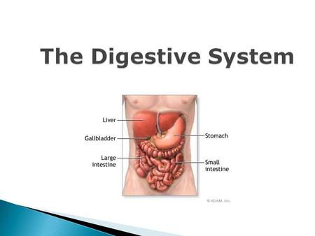 The Digestive System. Process by which organisms obtain and utilize energy from food. There are two parts to Nutrition: 1. Ingestion- process of taking.