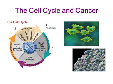 The Cell Cycle and Cancer The Cell Cycle Cytokinesis 1 2 3.