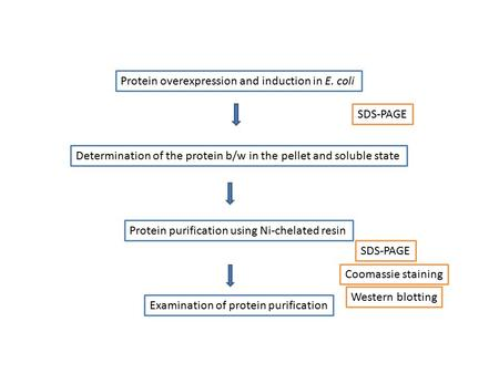 Protein overexpression and induction in E. coli Determination of the protein b/w in the pellet and soluble state Protein purification using Ni-chelated.