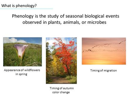 What is phenology? Phenology is the study of seasonal biological events observed in plants, animals, or microbes Appearance of wildflowers in spring Timing.