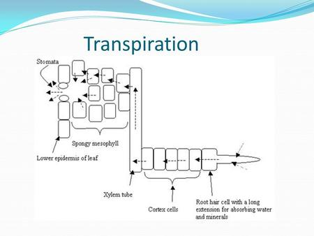 Transpiration. Water Movement Mass flow of water in xylem vessels – pressure lowered as water leaves vessels. Water moves up from the roots where the.