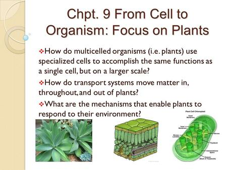 Chpt. 9 From Cell to Organism: Focus on Plants  How do multicelled organisms (i.e. plants) use specialized cells to accomplish the same functions as a.