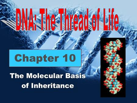 Chapter 10 The Molecular Basis of Inheritance The Molecular Basis of Inheritance.
