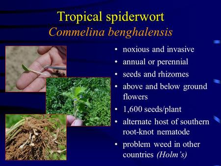 Control of Tropical Spiderwort in Peanut with Selected Herbicides J. Tim Flanders Grady County Extension Coordinator Eric P. Prostko Dept. of Crop & Soil.