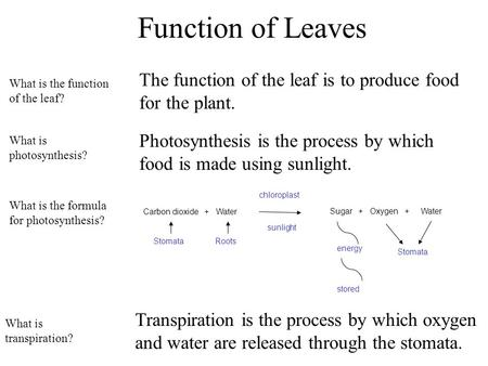 Function of Leaves The function of the leaf is to produce food for the plant. Photosynthesis is the process by which food is made using sunlight. What.