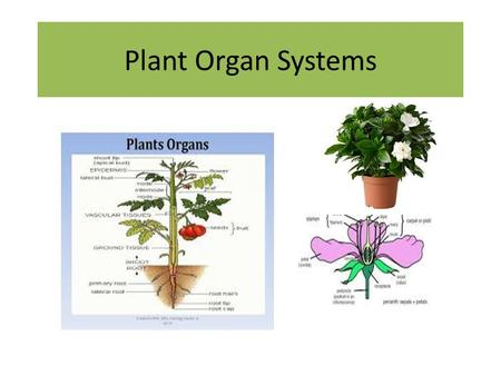 Plant Organ Systems. Agenda Take up homework Mitosis match Check seeds and record observations Lesson 2.2 Plant Organ Systems Vocabulary Workbook page.